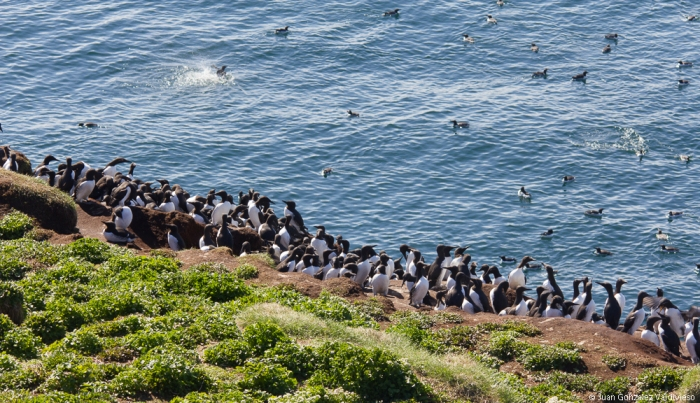 Colonia de aves marinas (Isla de Hornoya)