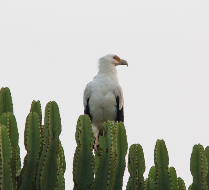 Gypohierax angolensis