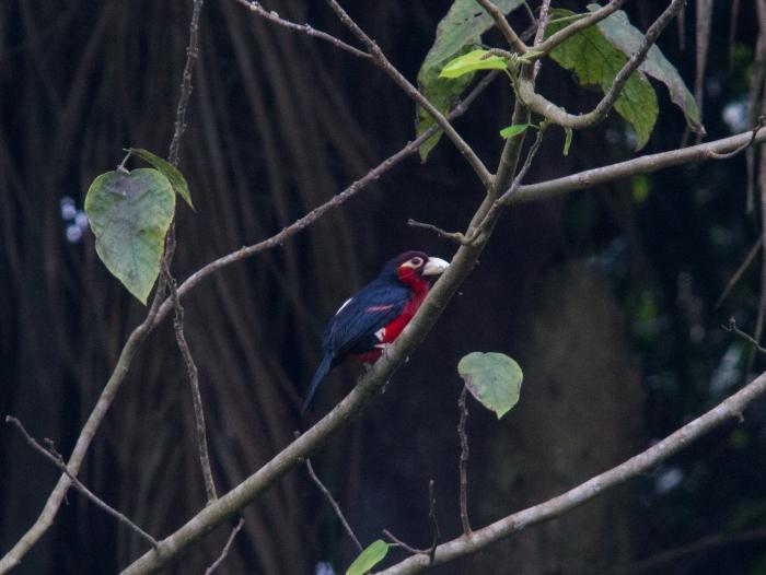 Pogonornis bidentatus